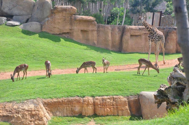 deers长颈鹿 免版税库存照片