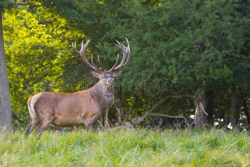 Deers στο δάσος Dyrehave βόρεια της Κοπεγχάγης στοκ φωτογραφία με δικαίωμα ελεύθερης χρήσης