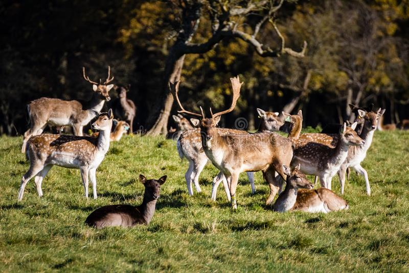 Deers στο πάρκο του Phoenix Δουβλίνο Ιρλανδία στοκ φωτογραφία με δικαίωμα ελεύθερης χρήσης