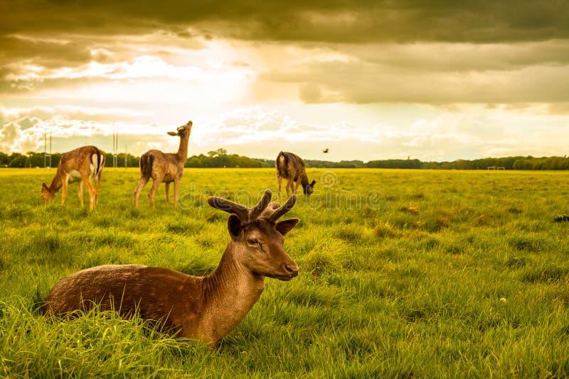 Deers στο πάρκο του Phoenix στοκ εικόνα