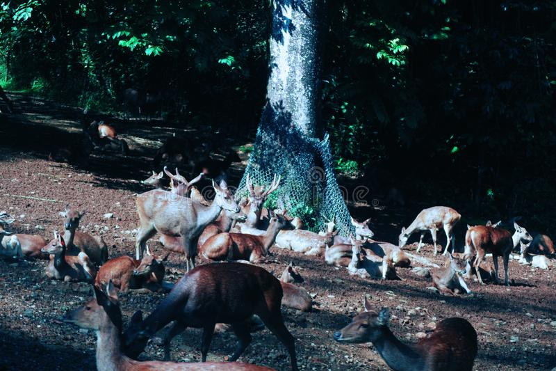 deers 图库摄影