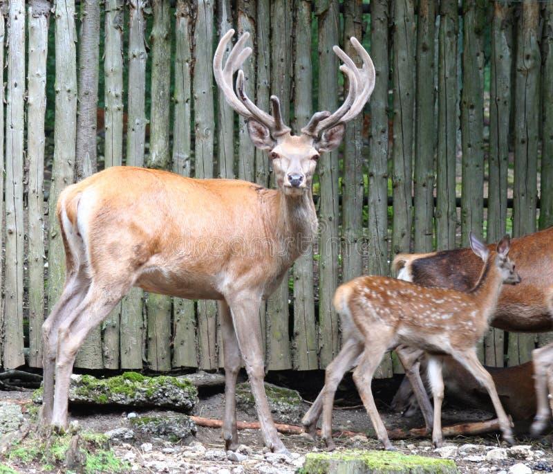 Deers 1 royalty free stock images