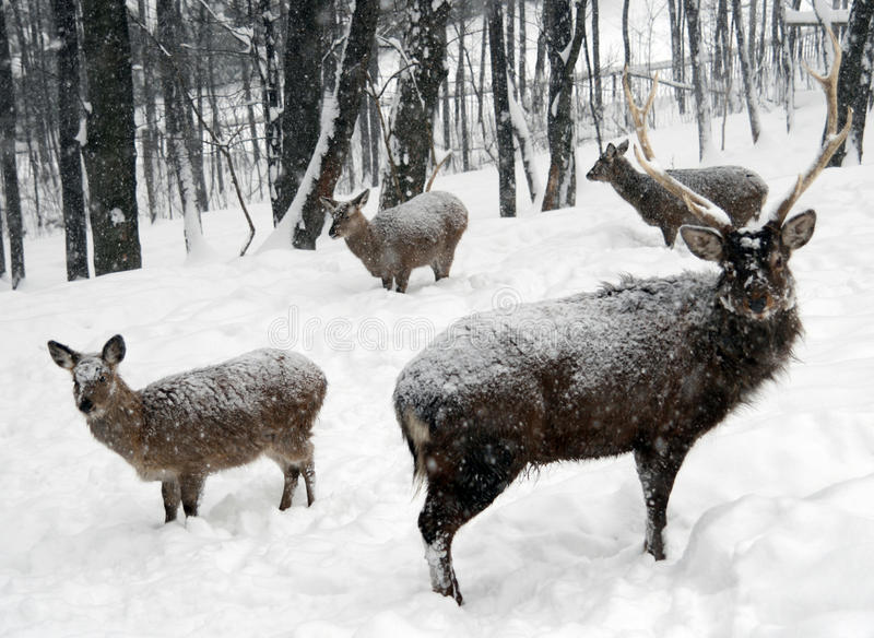 Download Deers stock photo. Image of herd, captivity, forest, cold - 11324922