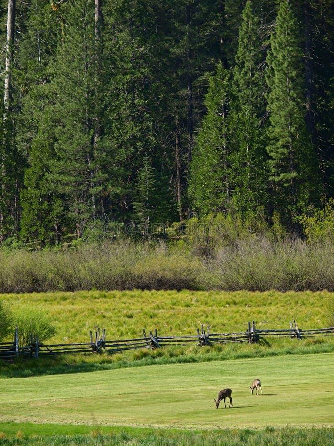 Deers royalty free stock photo