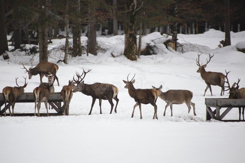 deers obraz stock