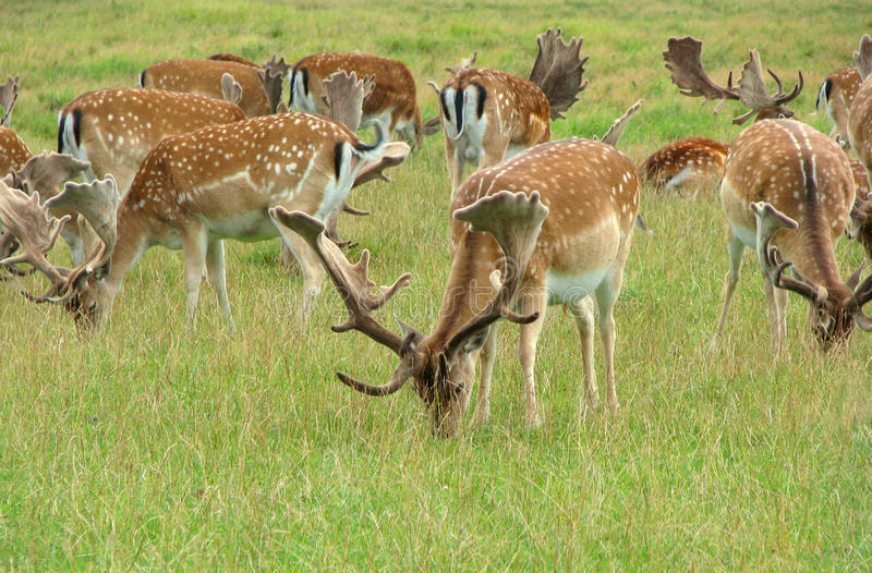 Download Deers stock photo. Image of common, leap, hunting, herd - 19857148
