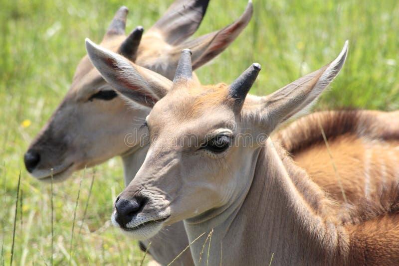 Deers photo libre de droits