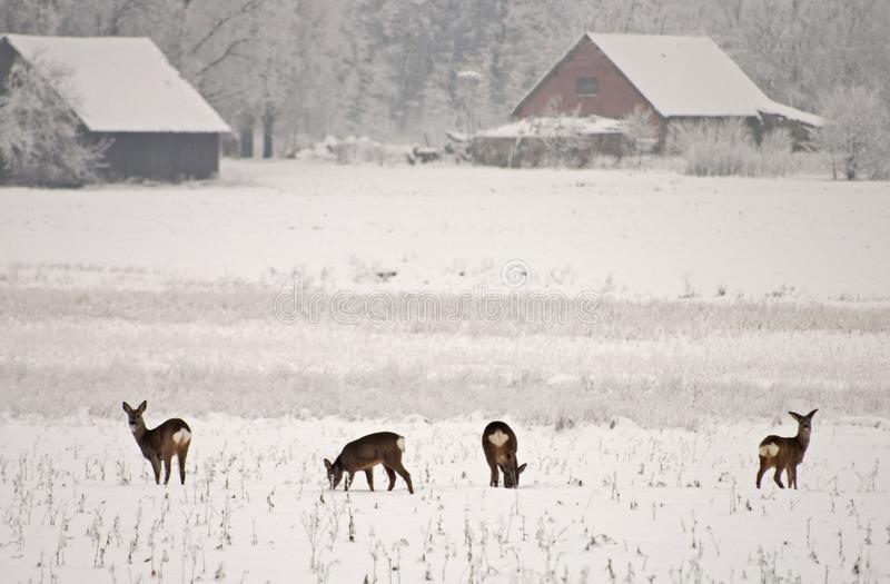deers 免版税库存图片