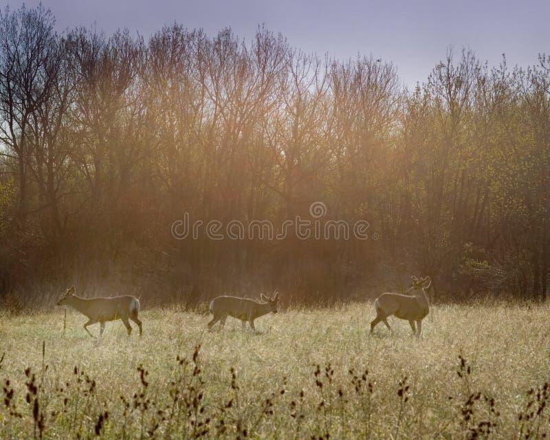 Deers immagini stock