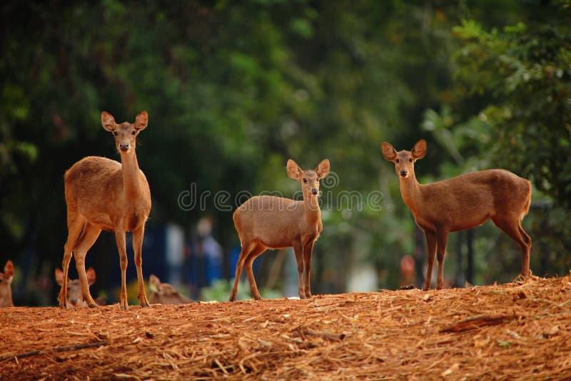 deers στοκ εικόνες