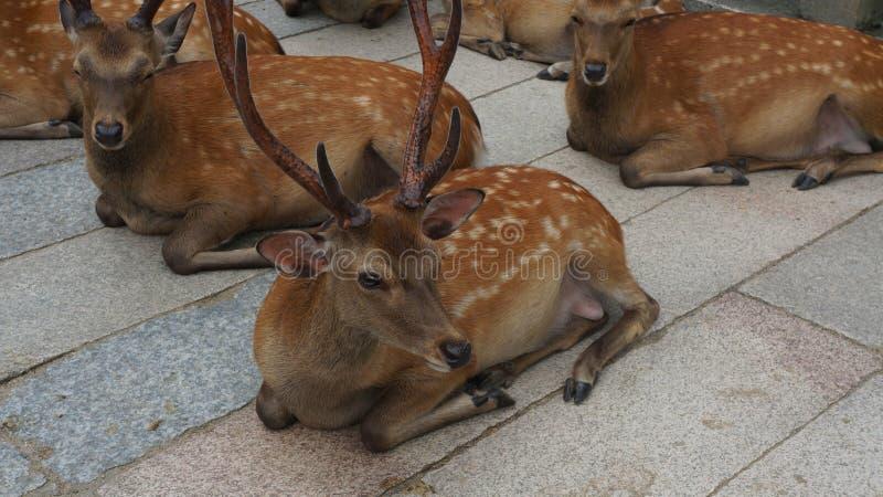 deers стоковые фотографии rf