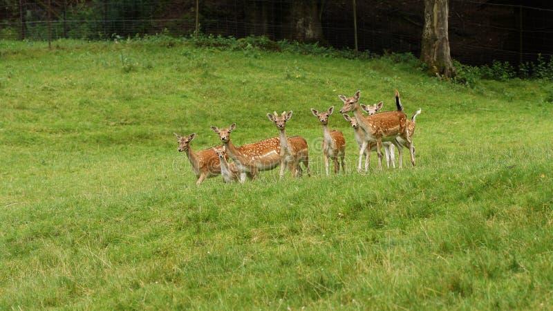 Deers affrichés image libre de droits