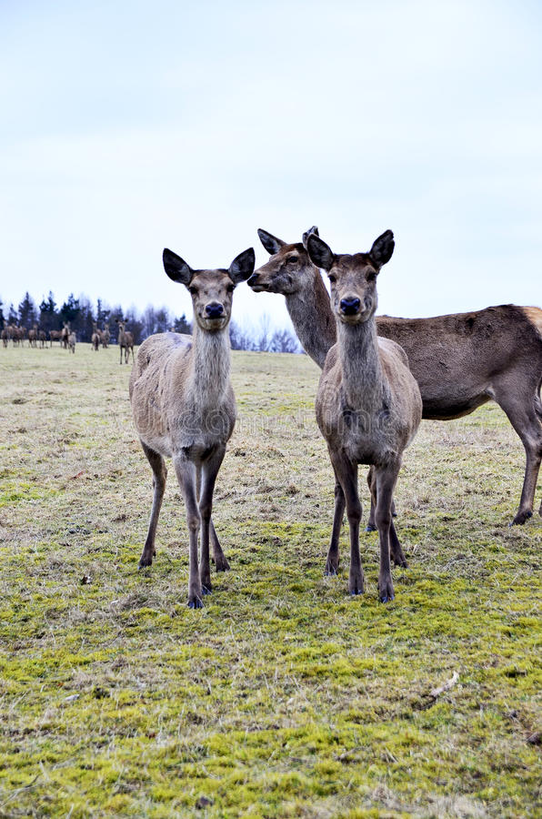 Deers in captivity. Group of deers in captivity in a farm in Germany during the winter stock photos