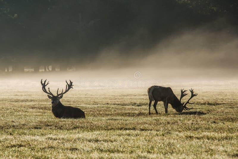 Deers in de ochtendmist royalty-vrije stock foto's