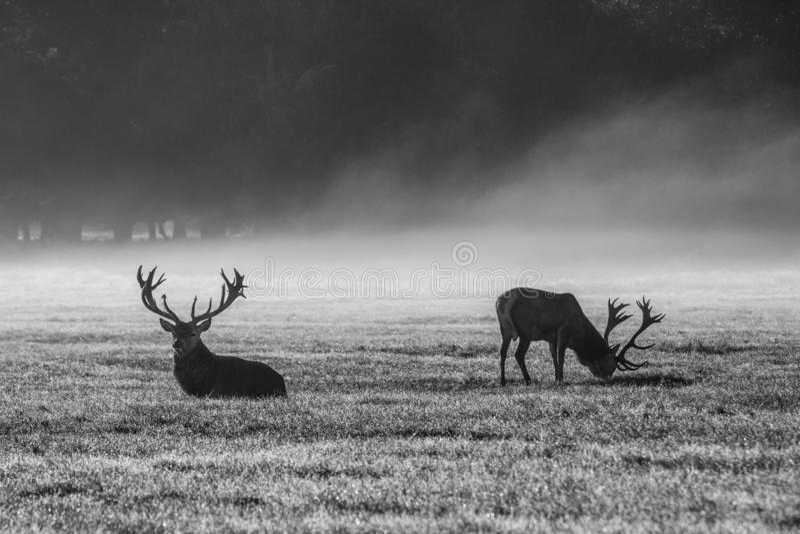 Deers in de ochtendmist stock foto's