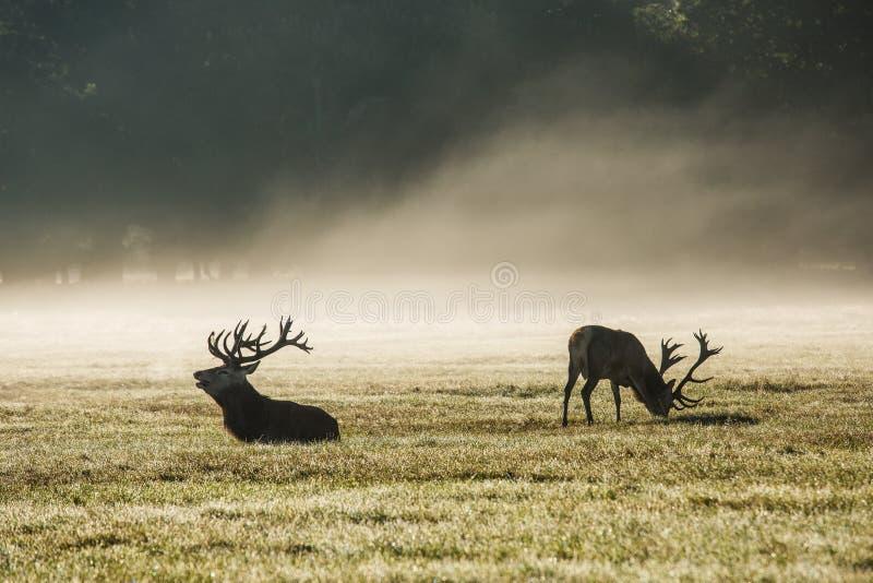 Deers in de ochtendmist stock afbeeldingen