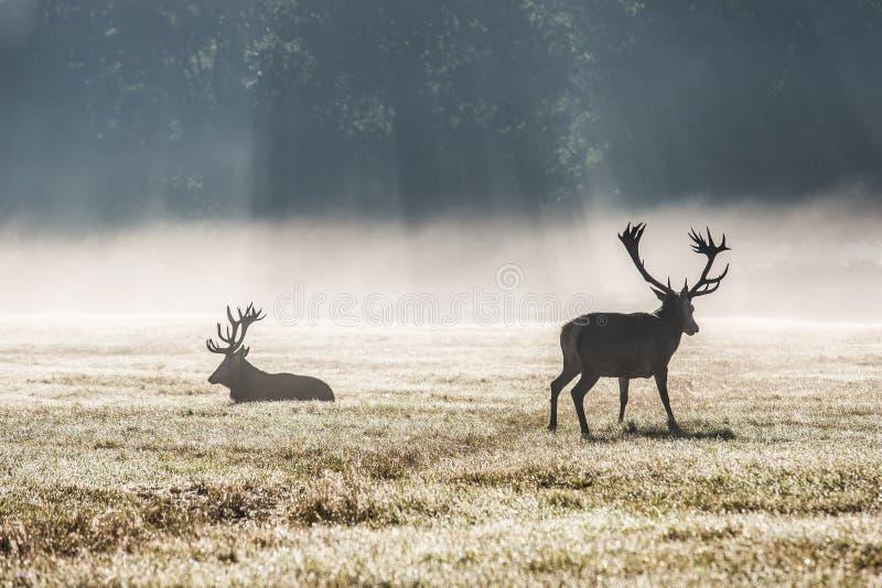 Deers in de ochtendmist royalty-vrije stock foto