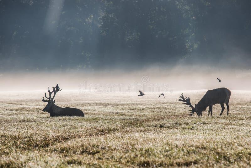 Deers in de ochtendmist royalty-vrije stock afbeeldingen