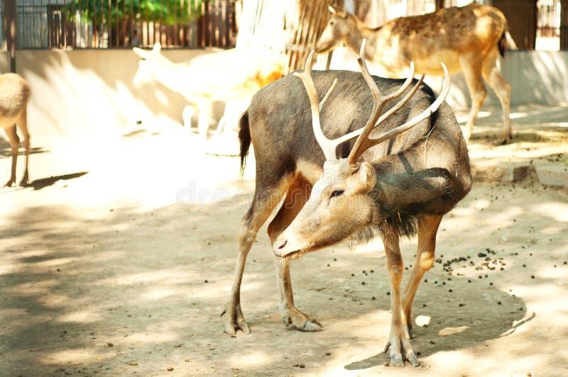 Deers in dierentuin royalty-vrije stock fotografie