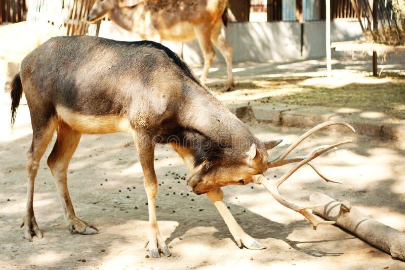 Deers in dierentuin stock afbeelding