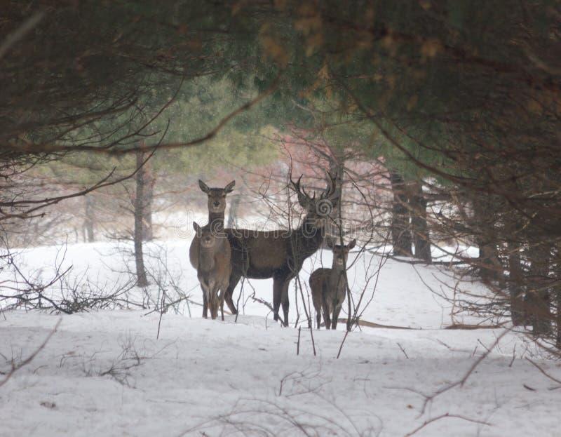 Deers in een bos royalty-vrije stock foto's