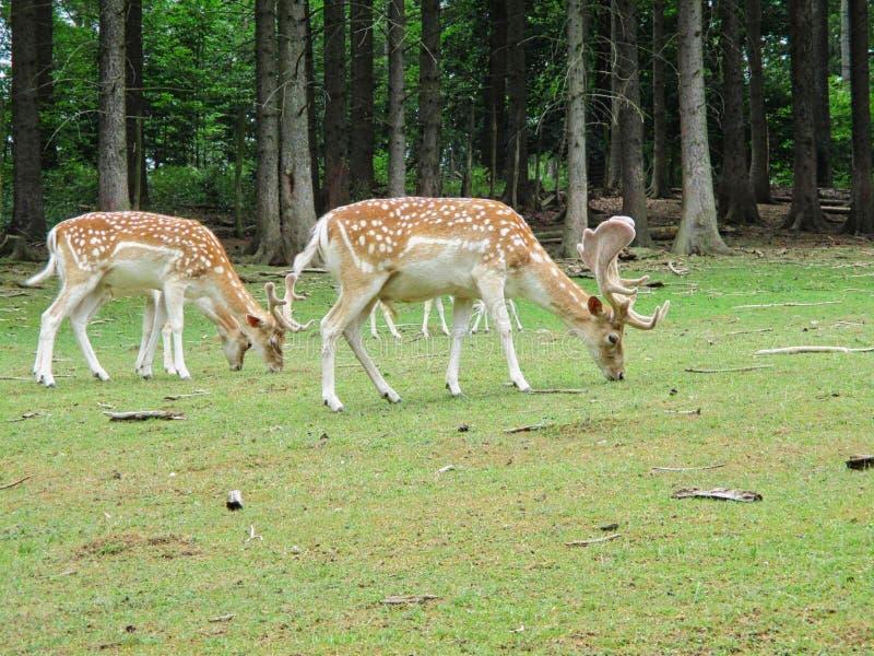 deers in een park bij de zomer royalty-vrije stock foto