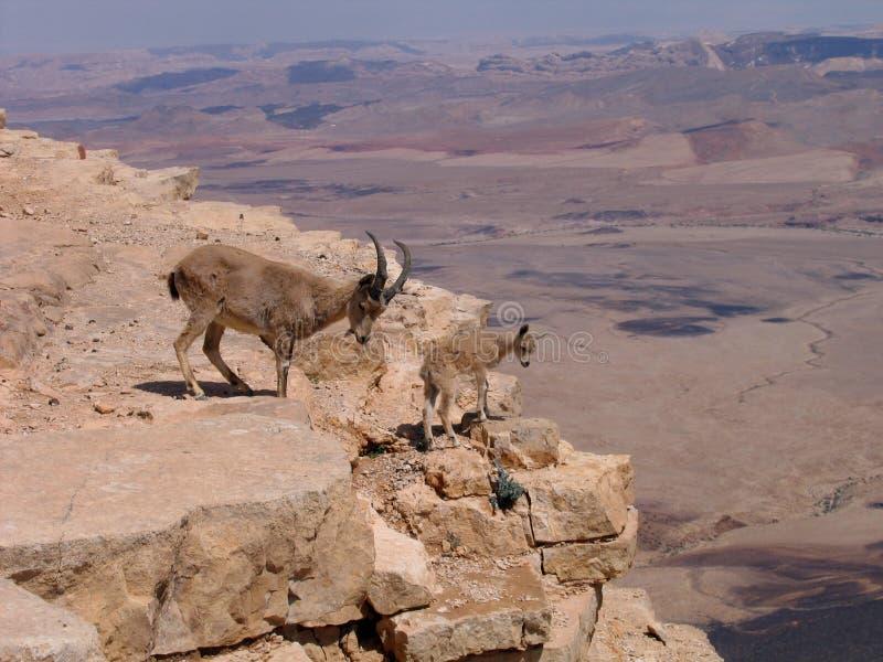 Deers en el cráter de Ramón (Makhtesh), Israel foto de archivo libre de regalías