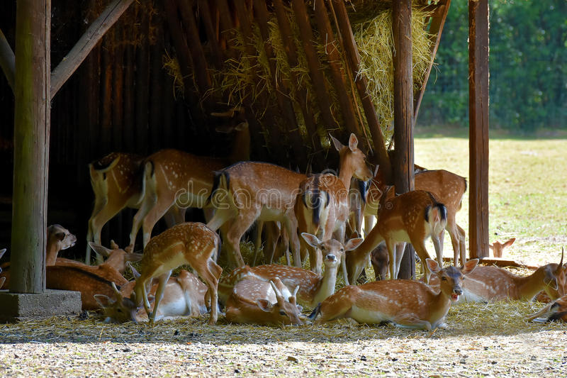 Deers at feeding place royalty free stock photography