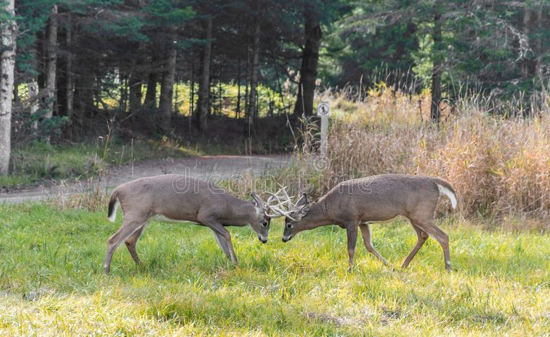 Deers fighting in the rut period stock images