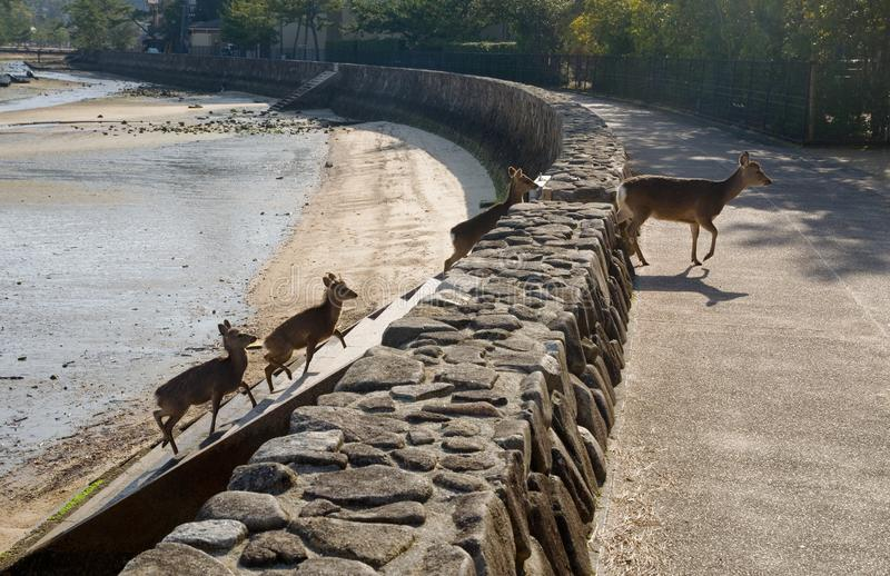 Deers are going from the beach, Japan. Sika deers at city of Istsukushima island are going up to stairs from sandy beach, Japan royalty free stock images