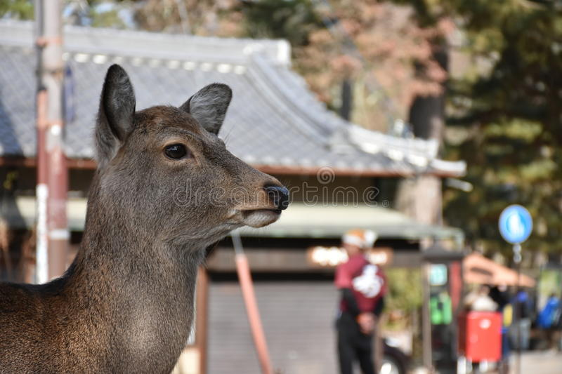 Deers without horn in Nara, Japan royalty free stock image