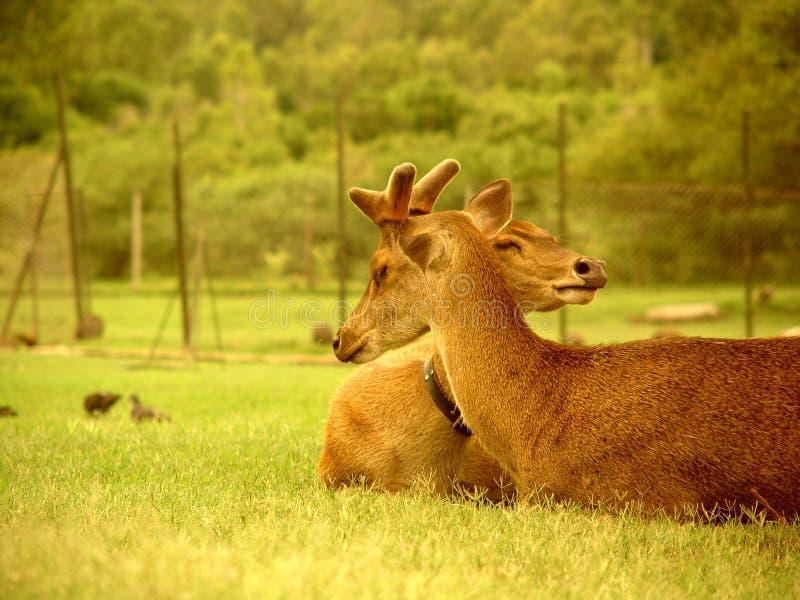 Deers, Isla Mauricio fotografía de archivo libre de regalías
