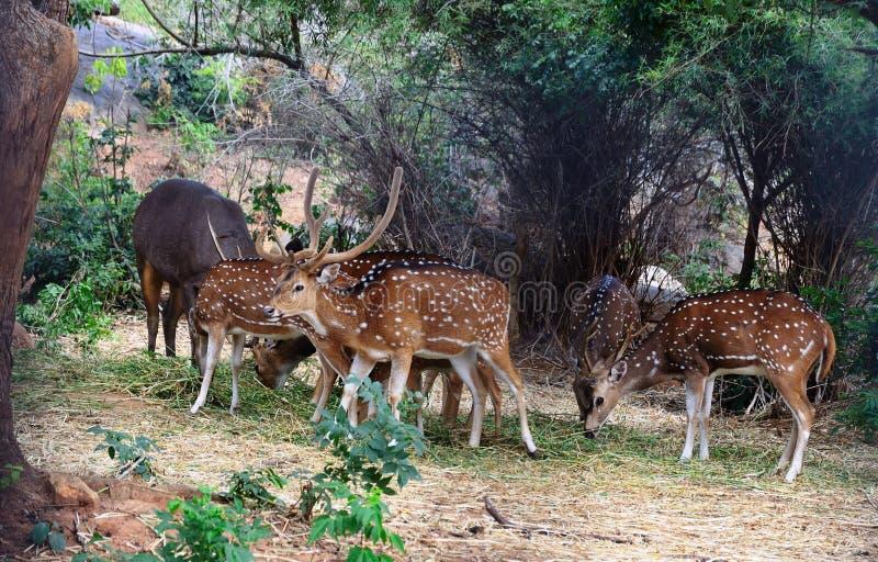 Deers manchado fotos de stock