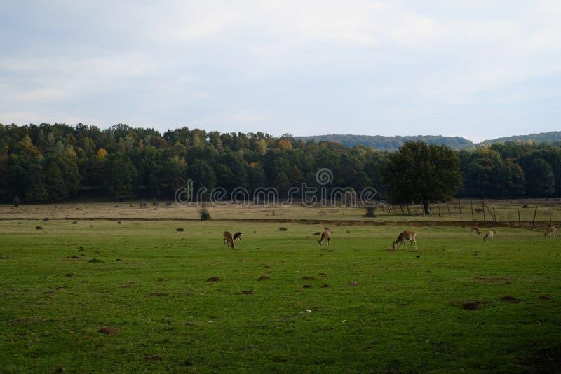 Deers na paśniku gospodarstwie rolnym lub, film lubią, lato zdjęcia stock