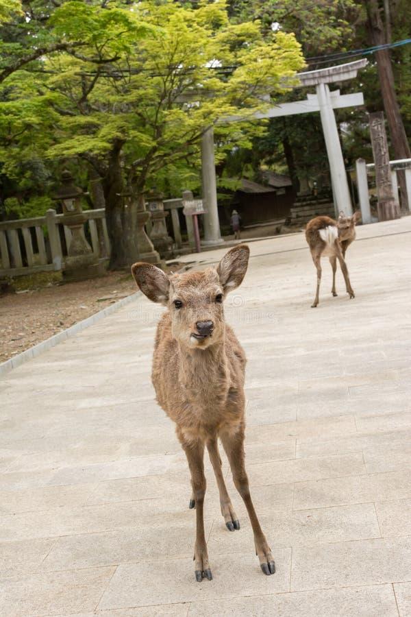Download Deers nara стоковое фото. изображение насчитывающей ashurbanipal - 41660756