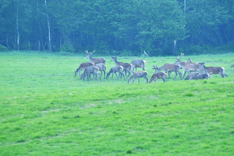 Deers op de weide stock afbeelding
