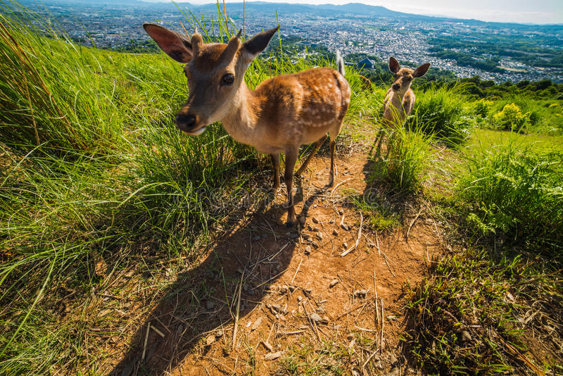 Deers over Nara in Japan royalty free stock photo
