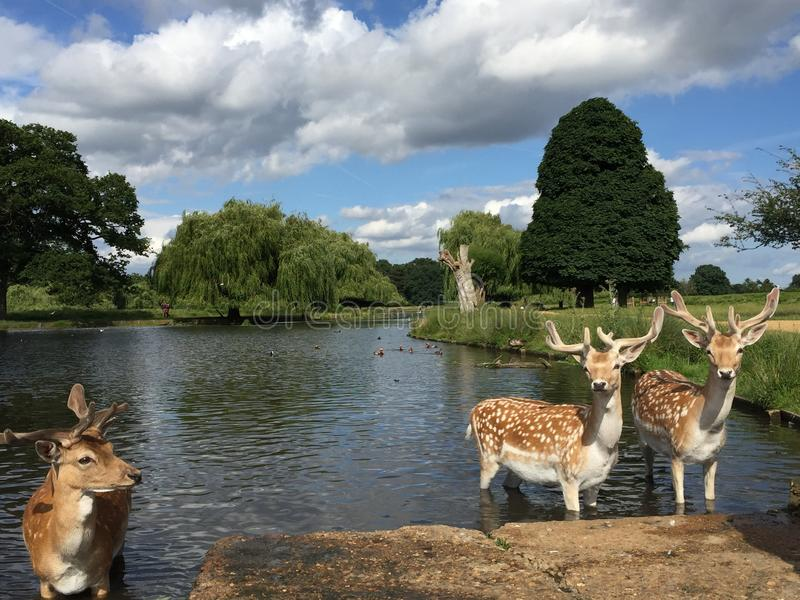 Deers in the pond. Bushy park .a sunny day, July, summer, Hamptoncourt stock photo