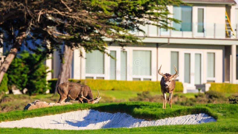 Deers przy 17 mil linią brzegową fotografia stock