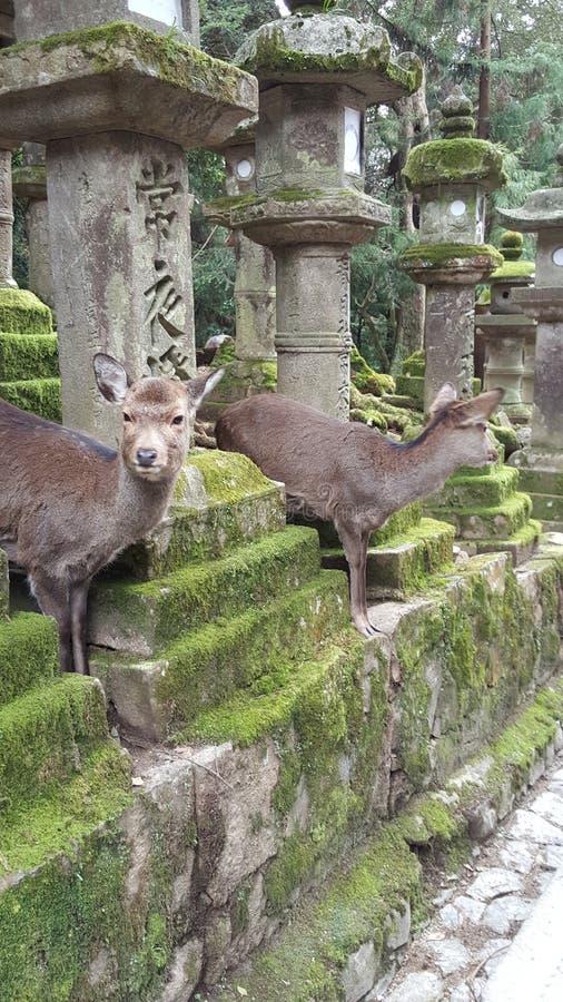 Deers przy Nara parkiem, Japonia zdjęcia stock
