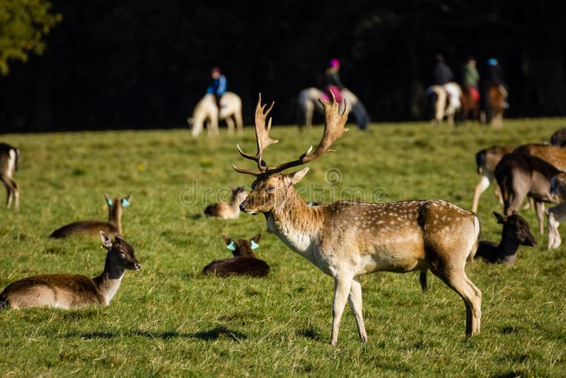 Deers przy Phoenix parkiem dublin Irlandia fotografia stock