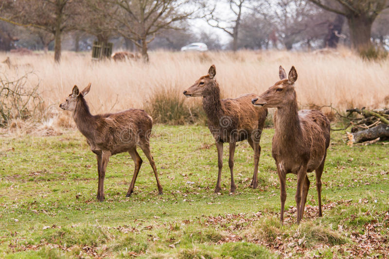 Deers roaming free in the outdoors park. In Richmond, London stock photography