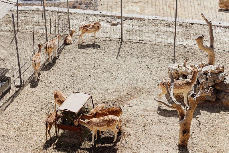 Deers są jedzący odpoczynek na gospodarstwie rolnym i brać obraz stock