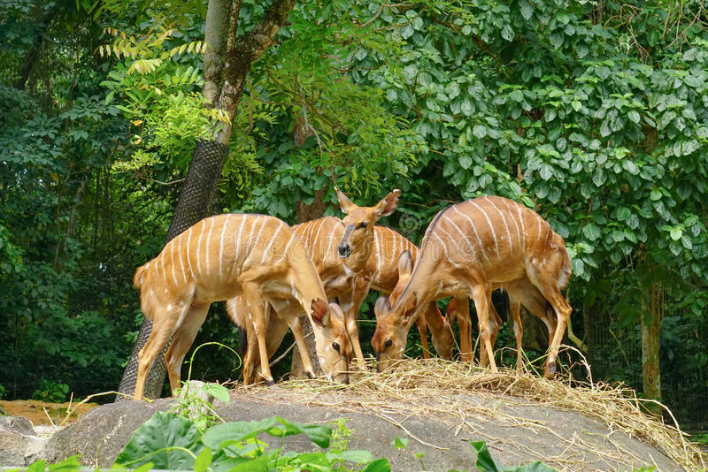 Deers in Singapore zoo. Deers eating grasses in Singapore zoo. There are about 315 species of animal in the Singapore zoo, of which some 16 percent are royalty free stock image