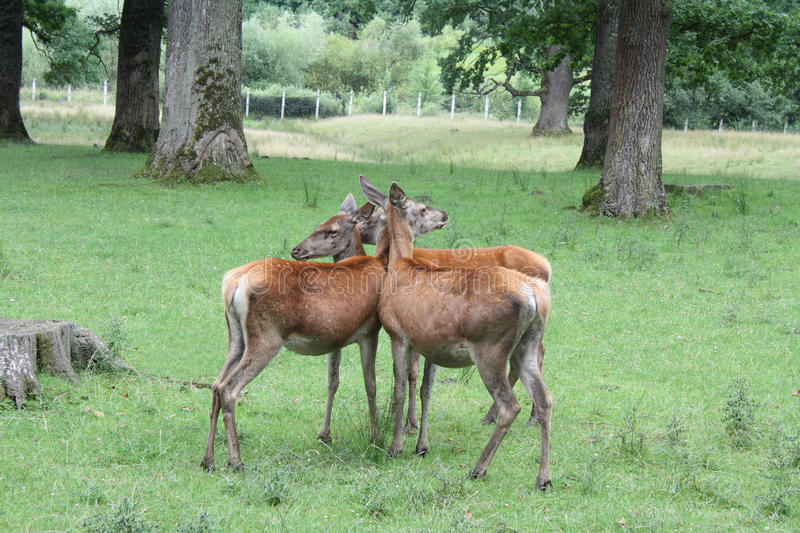 Deers standing together royalty free stock photography