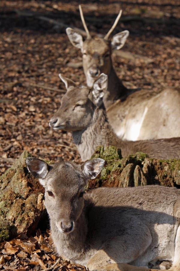 deers trzy obraz stock