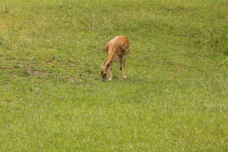 Deers under att söka efter föda royaltyfria bilder