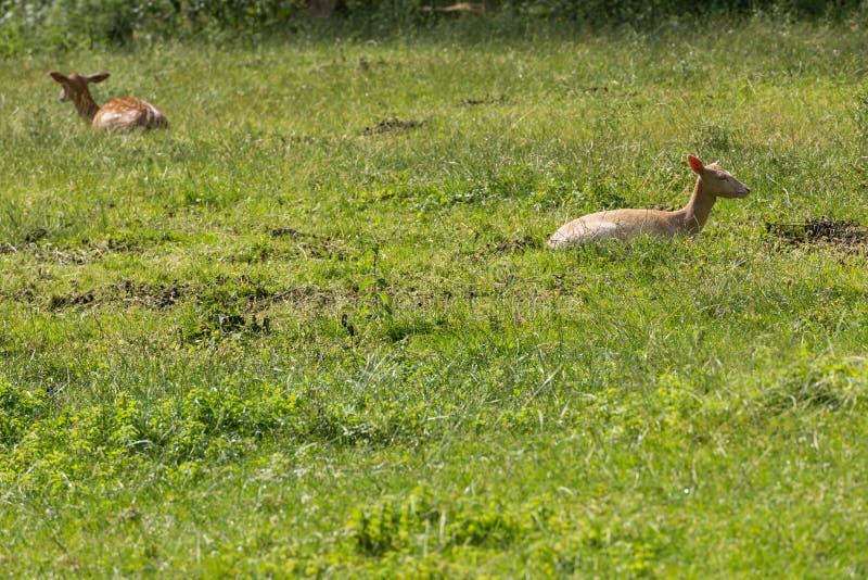 Deers under rumination arkivbilder