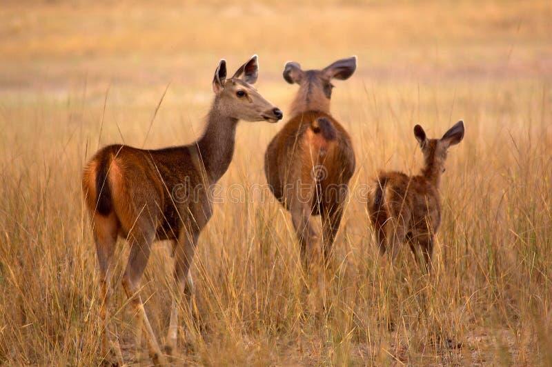 Deers van Sambar royalty-vrije stock foto