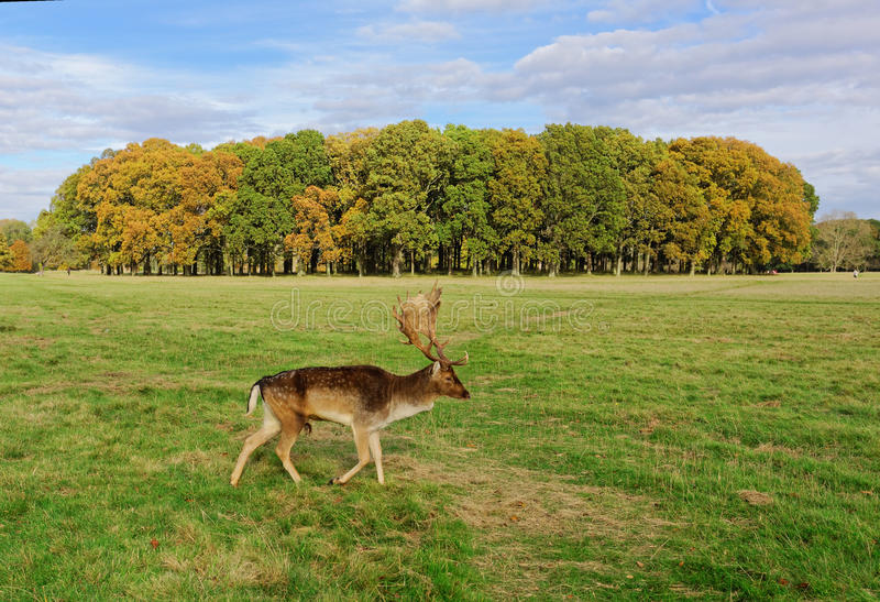 Deers w Phoenix parku obrazy stock